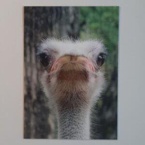 3d struisvogel